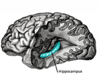 Hipocampo y memoria